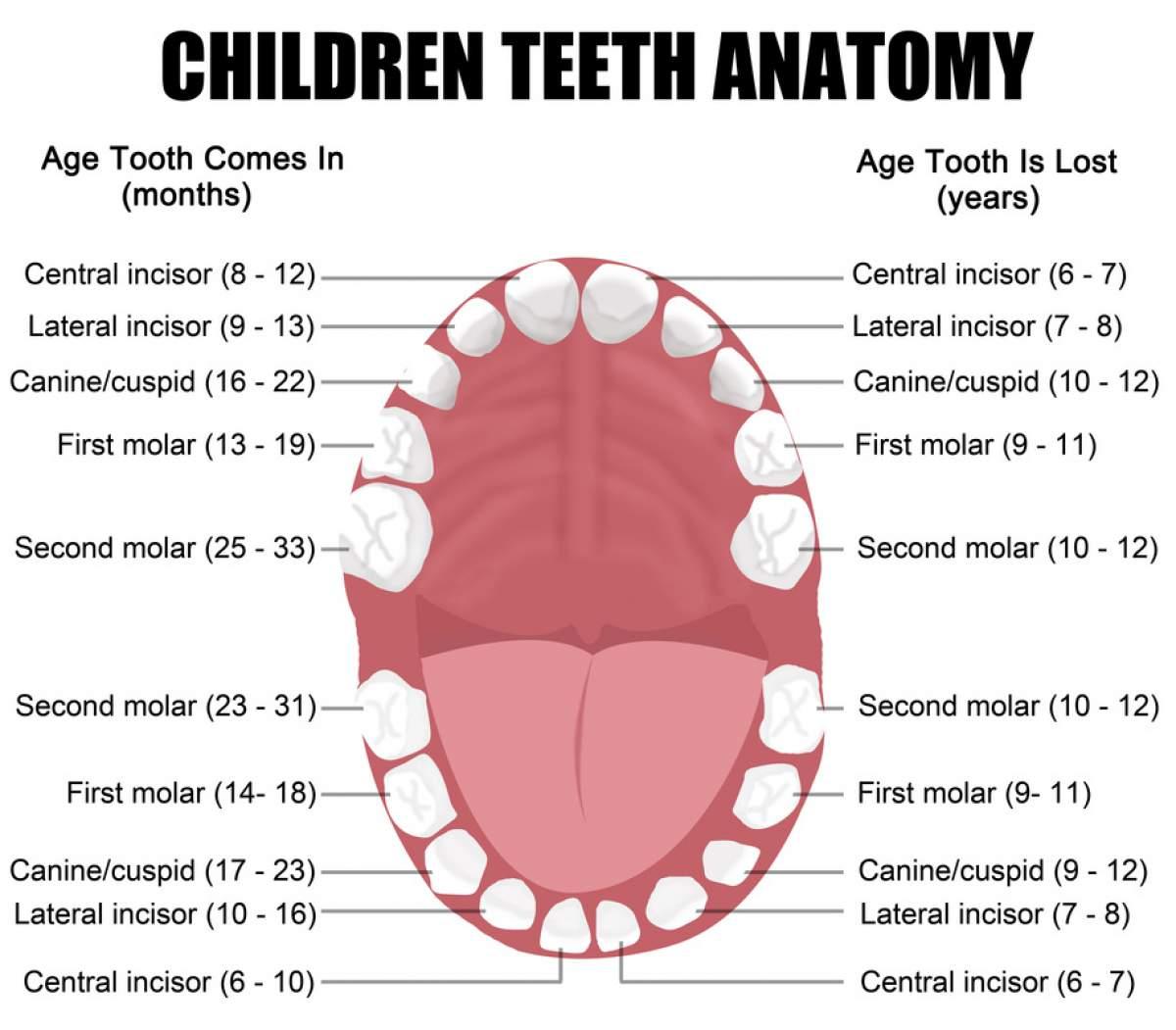 کلینیک دندانپزشکی آرکا - دندانپزشکی کودکان - رویش دندانهای شیری
